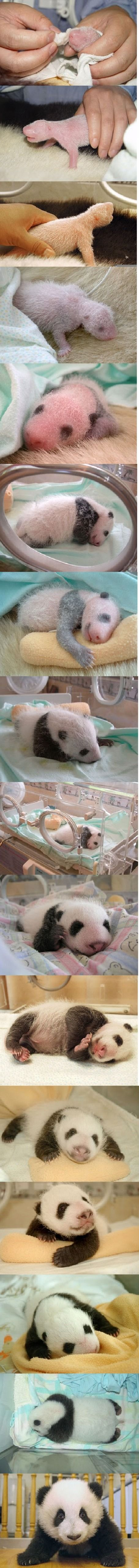 see baby panda grow step by step