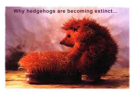 why hedgehogs are becoming extinct