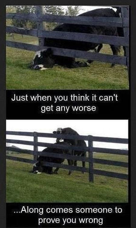 when you think it can t get  worse cow funny