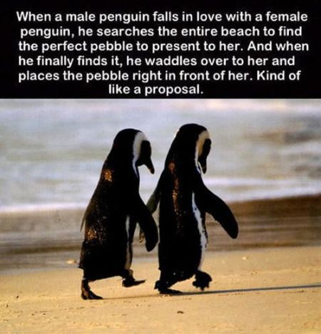 when a male penguin falls in love