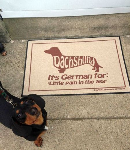 dachshund is german for pain in the a**