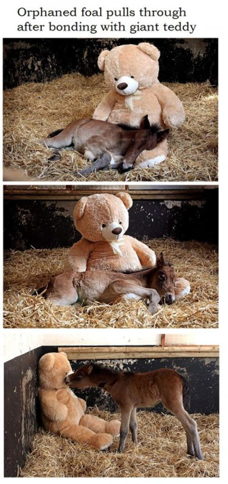 Orphaned foal and giant teddy at PMSLweb.com