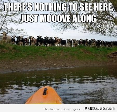 There's nothing to see here cow meme at PMSLweb.com
