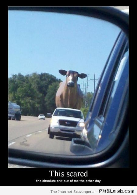 Cow in car mirror at PMSLweb.com