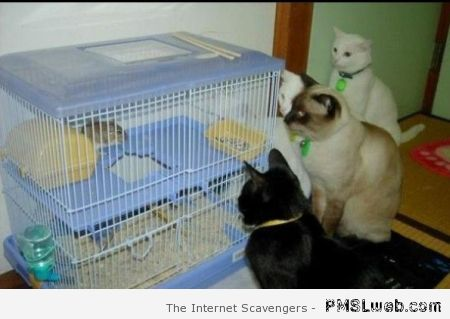 Funny cats watching hamster at PMSLweb.com