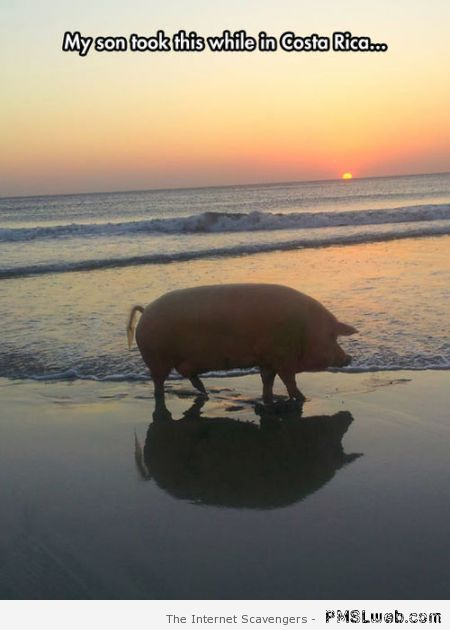 Funny pig picture at PMSLweb.com