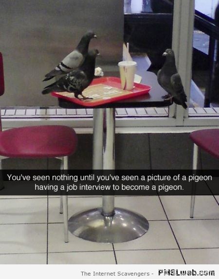 Pigeon job interview funny at PMSLweb.com