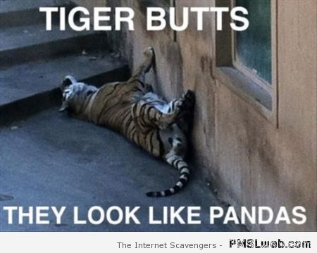 Tiger butts are like pandas at PMSLweb.com