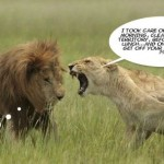 Hilarious lion wife at PMSLweb.com