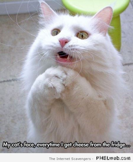 Cat wants cheese meme at PMSLweb.com