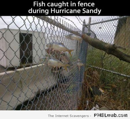 Fish caught in fence during hurricane Sandy – Sunday giggles at PMSLweb.com