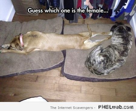 Guess which one is the female dog meme at PMSLweb.com