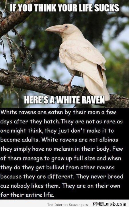 The life of a white raven humor at PMSLweb.com