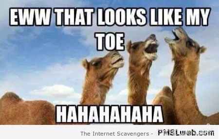 Camels making fun of the cameltoe meme – Friday mischief at PMSLweb.com