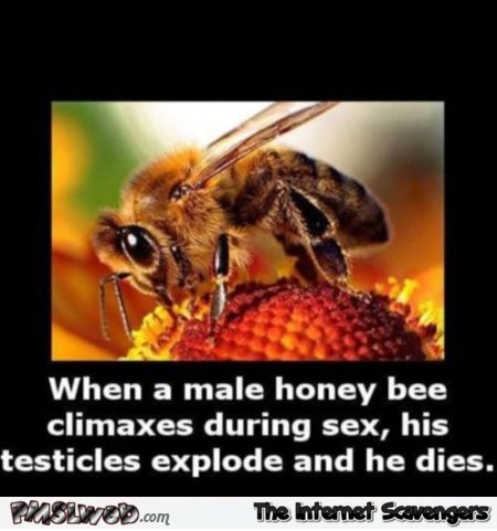 When a honey bee climaxes during sex WTF fact at PMSLweb.com