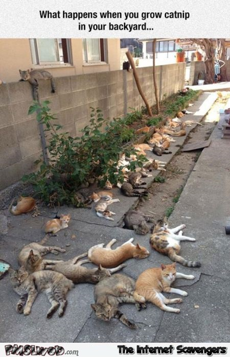 When you grow catnip in your backyard humor @PMSLweb.com
