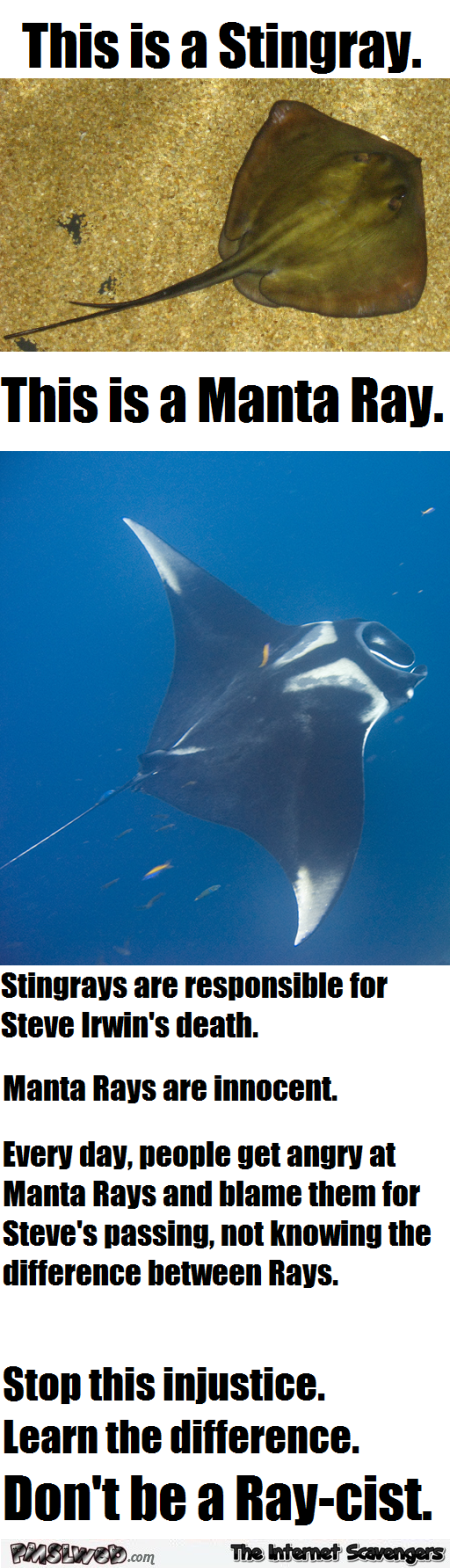 Funny stingray versus manta ray @PMSLweb.com