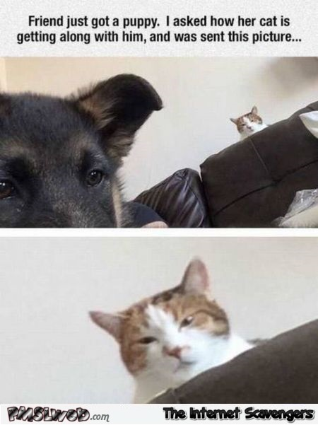 Cat is not happy about puppy humor