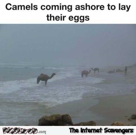 Camels coming ashore to lay their eggs meme