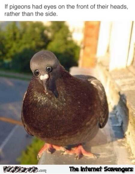 If pigeons had eyes on the front of their heads meme @PMSLweb.com