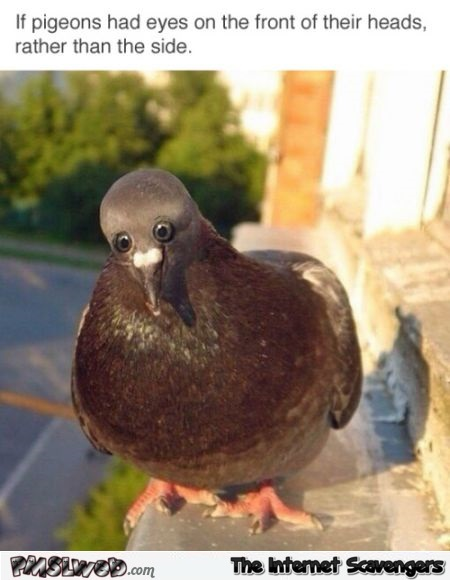 If pigeons had eyes on the front of their heads funny meme @PMSLweb.com
