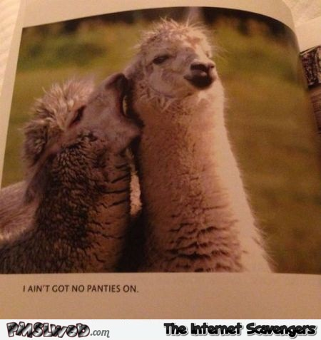 Llama has no panties on humor @PMSLweb.com