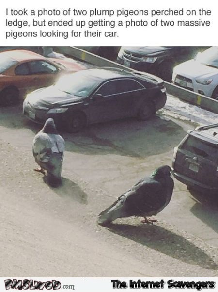 Two massive pigeons looking for their cars funny meme