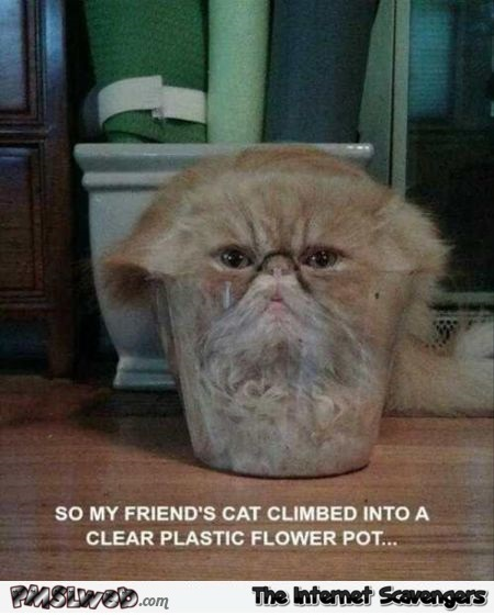 Cat climbed into a clear plastic flower pot funny meme